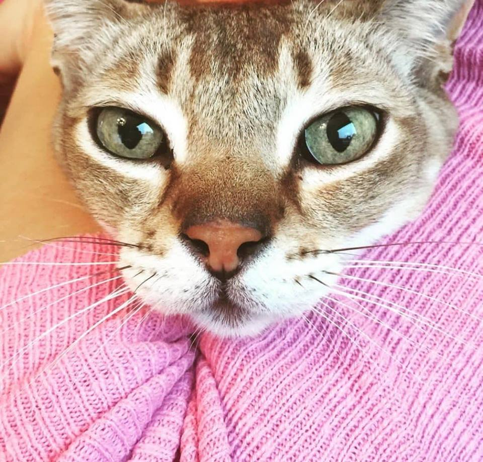Kennst Du die Singapura Katze?